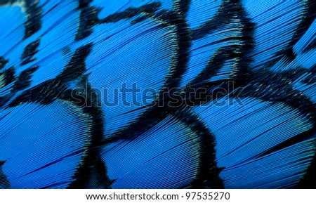 Beautiful abstract background consisting of blue dyed lady amherst pheasant feathers - stock photo