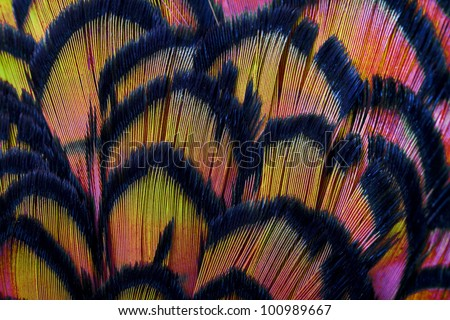 Beautiful abstract background consisting of pink and yellow dyed lady amherst pheasant feathers - stock photo