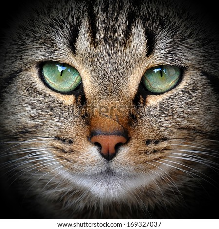 Beautiful adult gray tabby cat is on the black background. - stock photo