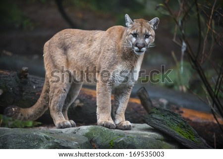 Beautiful Adult Mountain Lion close-up portrait - stock photo