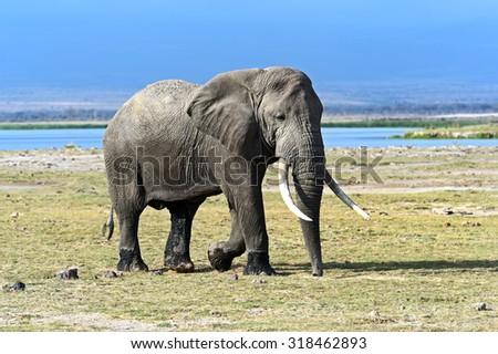 Beautiful African elephants in Amboseli Park in Kenya - stock photo