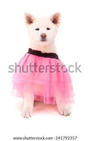 Beautiful Akita Inu dog dressed for Carnival or Halloween - stock photo