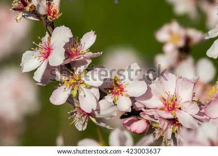 Beautiful almond blooms in spring - stock photo