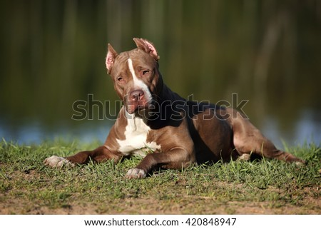 Beautiful American Pit Bull Terrier dog on the nature - stock photo