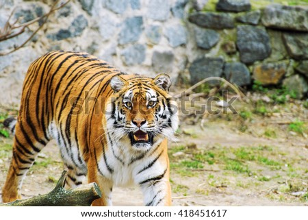 Beautiful amur tiger - stock photo