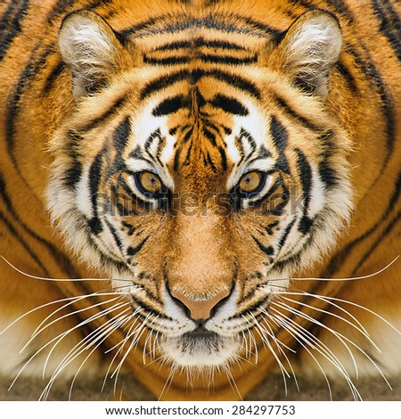 Beautiful amur tiger portrait. Tiger face. Panthera tigris altaica. - stock photo