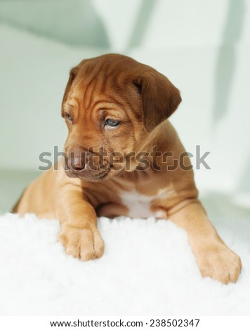 Beautiful and amazing little puppy on white background. The adorable Rhodesian Ridgeback hound is three weeks of age. - stock photo