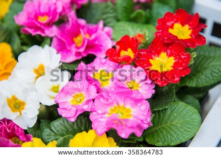 Beautiful and colorful small flower in Japan - stock photo
