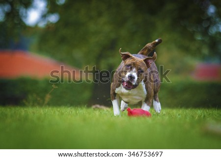 beautiful and comic american Staffordshire Terrier dog running - stock photo