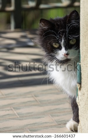 Beautiful and curious long fur black and white cat with yellow  - stock photo