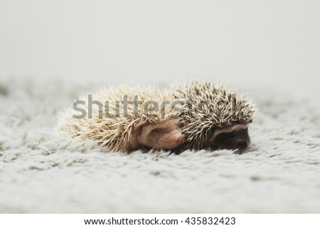 beautiful and cute young small hedgehog baby  - stock photo