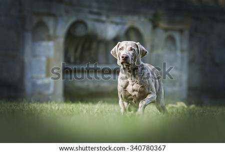 beautiful and elegant weimaraner dog lying in wait for their prey and preparing to run - stock photo