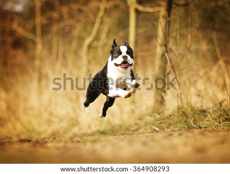 beautiful and fun boston terrier dog or puppy running and flying in summer nature, dog trick - stock photo