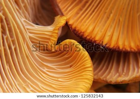 beautiful and very bright, orange mushroom in macro - stock photo