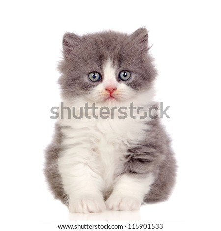 Beautiful angora kitten with gray and soft hair isolated on white background - stock photo