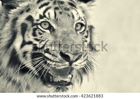 Beautiful angry face of Royal Bengal Tiger, Panthera Tigris,West Bengal, India -tinted image. It is largest cat species and endangered, only found in Sundarban mangrove forest of India and Bangladesh. - stock photo