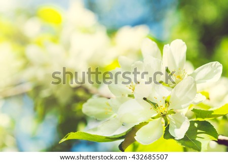 Beautiful apple tree branch with sun. Beautiful spring blooming tree, gentle white flowers on green soft focus background. Selective focus - stock photo