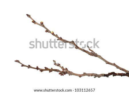 beautiful apricot blossoms  isolated on white - stock photo