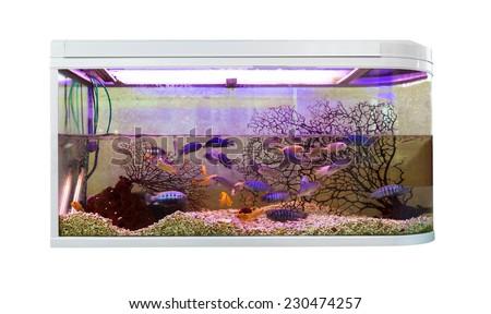 Beautiful aquarium with tropical fish (Pseudotropheus demasoni) - stock photo