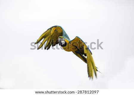 Beautiful Ara Macaw in flight isolated on white background - stock photo