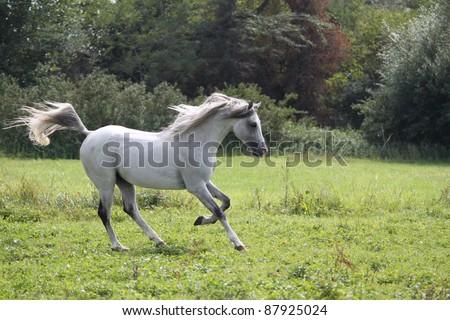 Beautiful arabian horse - stock photo