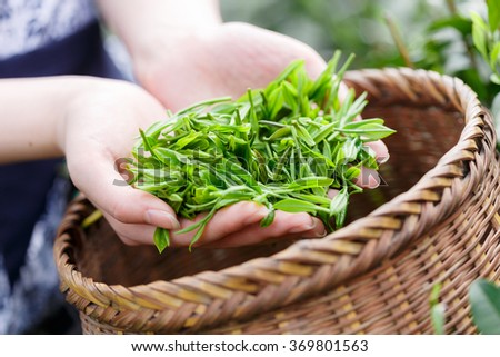 beautiful asian girl with traditional clothes picking tea - stock photo