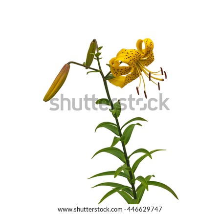 Beautiful asiatic yellow lily flowers 'Citronella' on white background it is isolated - stock photo