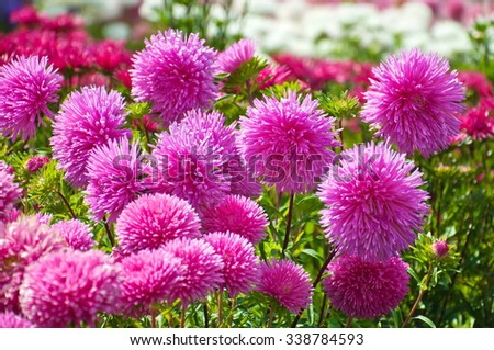 Beautiful aster in the garden. - stock photo