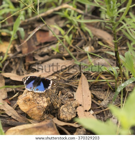 Beautiful Australian butterfly Junonia orithya known as blue angus or blue pansy with distinct eyespots on hindwing resting on a rock in its natural environment