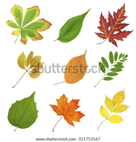 Beautiful autumn and green leaves, isolated on white - stock photo