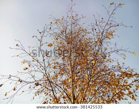 Beautiful autumn golden birch and blue sky/Beautiful autumn golden birch and blue sky/Beautiful autumn golden birch and blue sky - stock photo