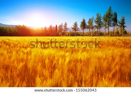 Beautiful autumn landscape, dry golden grass field, high green pine trees, autumnal nature, sunny day, scenery panorama - stock photo