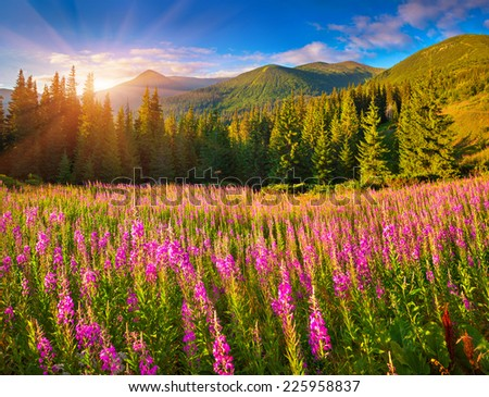 Beautiful autumn landscape in the mountains with pink flowers.  Geolocation 48.157097,24.528823 - stock photo