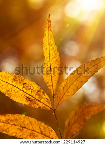 Beautiful autumn leaves on twig in bright sun rays, warm autumnal sunny day, dry tree in the park, beauty of fall nature  - stock photo
