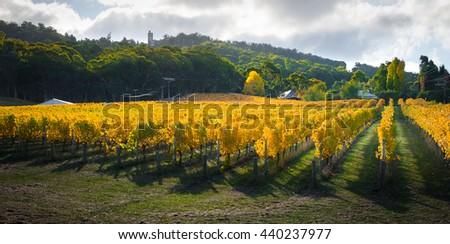 Beautiful Autumn vines in South Australia - stock photo