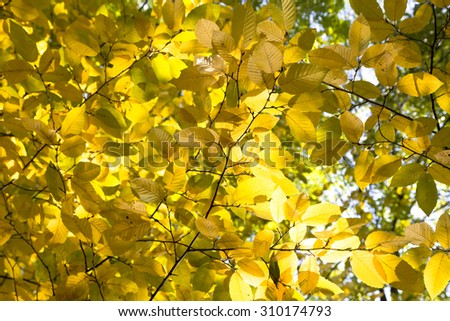 Beautiful autumnal birch tree branch with yellow leaves. Close up of autumnal tree. - stock photo