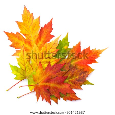 Beautiful autumnal maple leafs on white background - stock photo