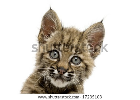 Beautiful baby bobcat face with eyes wide open - stock photo
