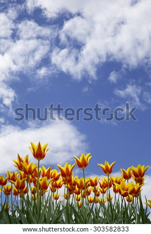 Beautiful background of a sky with vibrant tulips - stock photo