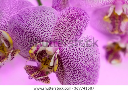 Beautiful background of raceme of leopard pink orchid flowers. It is a good example how perfectly orchid can flowering. Phalaenopsis orchid flower is like a tropical butterfly. - stock photo