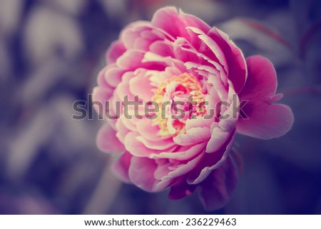 Beautiful background with peonies / romantic card with peony  - stock photo