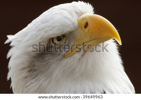 Beautiful Bald Eagle head in close up - stock photo