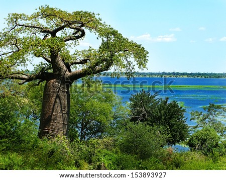Beautiful baobab tree in Botswana - stock photo