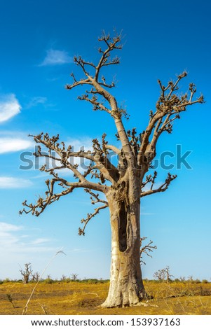 Beautiful baobab tree under the sky - stock photo