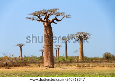 Beautiful Baobab trees at the avenue of the baobabs in Madagascar - stock photo