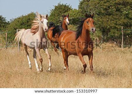 Beautiful bay mares - purebred arabian - stock photo