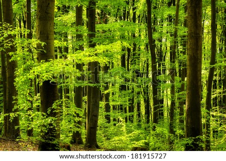 Beautiful beech forest's fresh green in a sunny spring morning - stock photo
