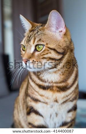Beautiful bengal cat looking careless - stock photo