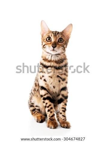 Beautiful Bengal kitten isolated on white - stock photo