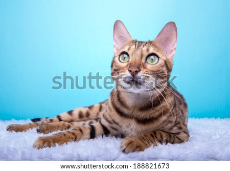 Beautiful bengalensis cat ifs isolated on a blue background. Colorful decorations. Animal portrait - stock photo